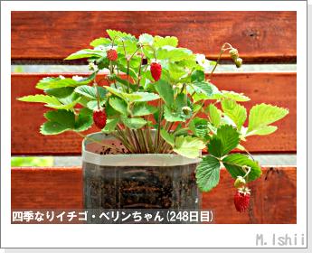 ペット栽培II(四季なりイチゴ)96