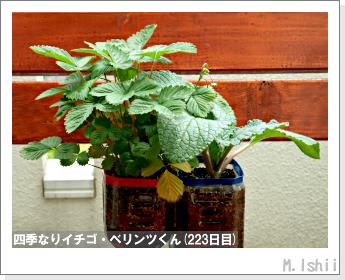 ペット栽培II(四季なりイチゴ)99