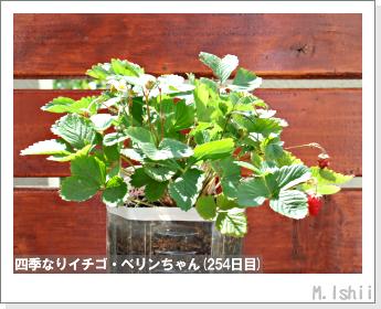 ペット栽培II(四季なりイチゴ)103