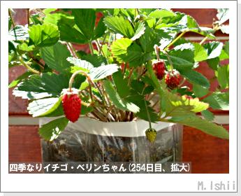 ペット栽培II(四季なりイチゴ)104