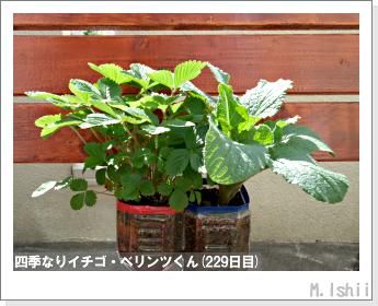 ペット栽培II(四季なりイチゴ)105