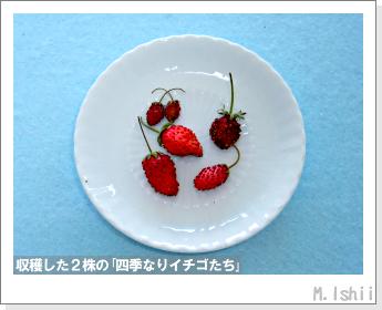 ペット栽培II(四季なりイチゴ)107