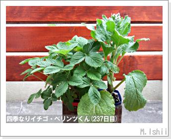 ペット栽培II(四季なりイチゴ)110