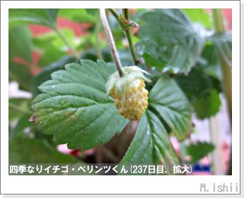 ペット栽培II(四季なりイチゴ)111
