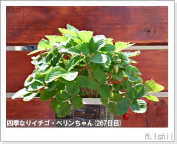 ペット栽培II(四季なりイチゴ)113