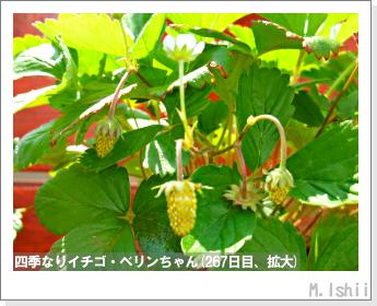 ペット栽培II(四季なりイチゴ)114