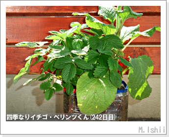 ペット栽培II(四季なりイチゴ)115