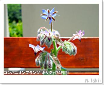ペット栽培II(四季なりイチゴ)119