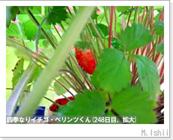 ペット栽培II(四季なりイチゴ)123