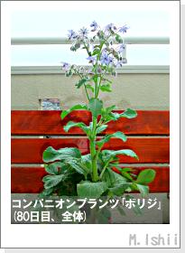 ペット栽培II(四季なりイチゴ)126