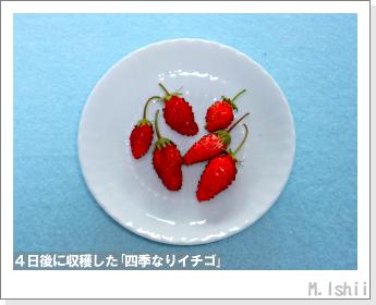 ペット栽培II(四季なりイチゴ)127