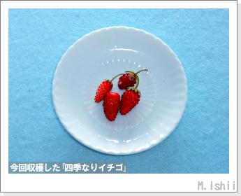 ペット栽培II(四季なりイチゴ)132
