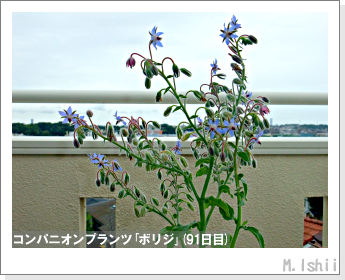 ペット栽培II(四季なりイチゴ)133