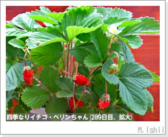 ペット栽培II(四季なりイチゴ)135