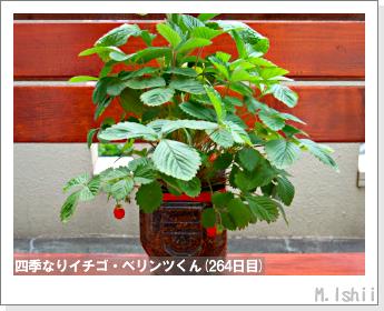 ペット栽培II(四季なりイチゴ)136