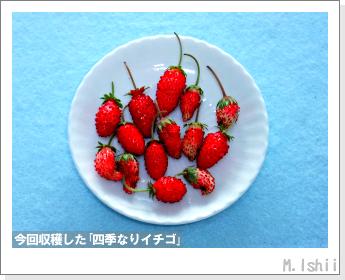 ペット栽培II(四季なりイチゴ)138