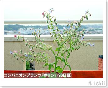 ペット栽培II(四季なりイチゴ)139