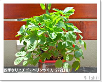 ペット栽培II(四季なりイチゴ)142