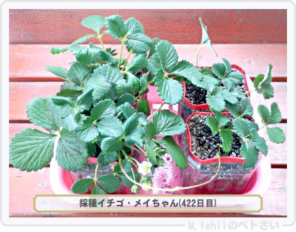 ペトさい(採種イチゴ)075