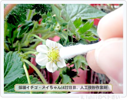 ペトさい(採種イチゴ)077