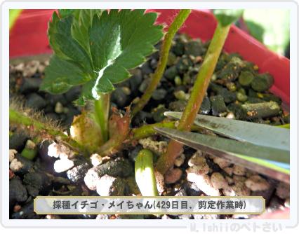 ペトさい(採種イチゴ)083