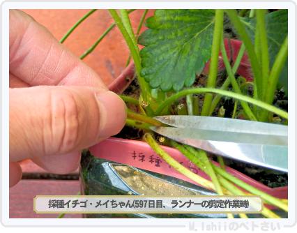 ペトさい(採種イチゴ)152