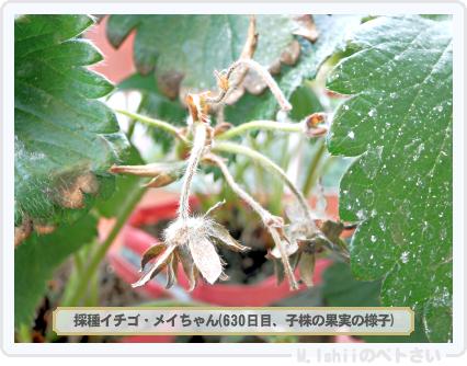 ペトさい(採種イチゴ)192
