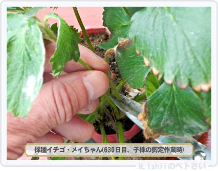 ペトさい(採種イチゴ)193