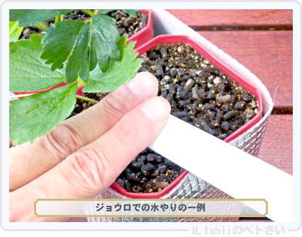 ペトさい(採種イチゴ)200