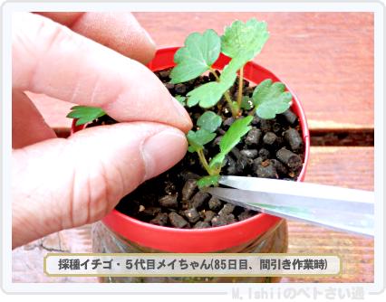 ペトさい(採種イチゴ・改)035