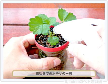 ペトさい(採種イチゴ・改)042