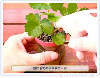 ペトさい(採種イチゴ・改)045
