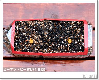 ペット栽培III(ピーマン)04
