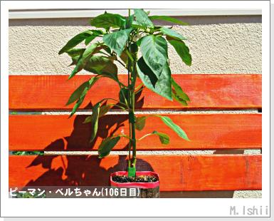 ペット栽培III(ピーマン)47