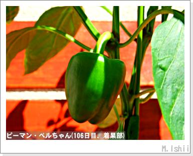 ペット栽培III(ピーマン)48