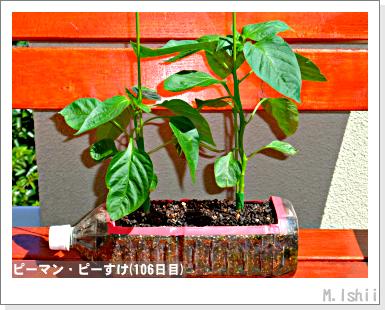 ペット栽培III(ピーマン)51