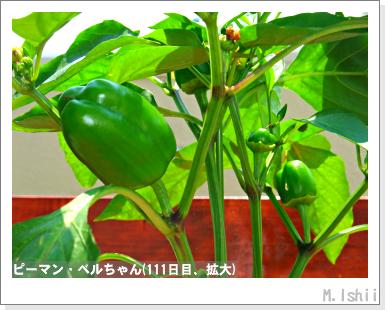 ペット栽培III(ピーマン)55