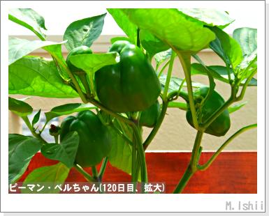 ペット栽培III(ピーマン)58