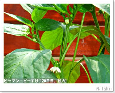 ペット栽培III(ピーマン)60
