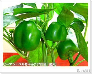 ペット栽培III(ピーマン)62
