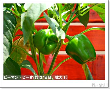 ペット栽培III(ピーマン)64