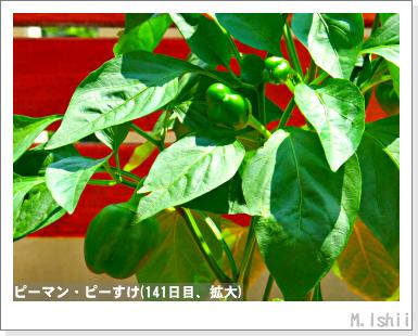 ペット栽培III(ピーマン)72
