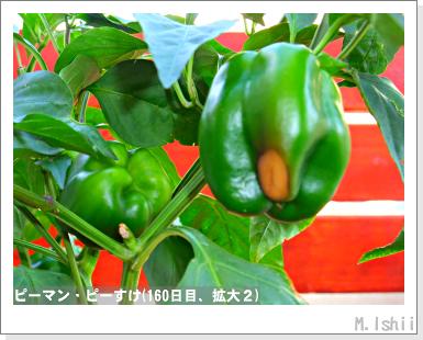 ペット栽培III(ピーマン)82