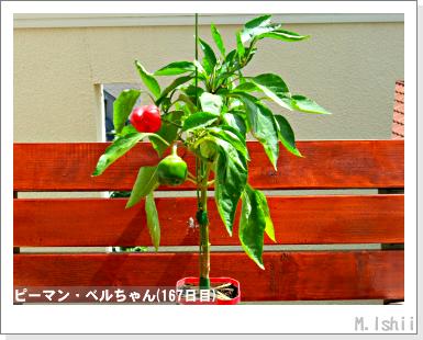 ペット栽培III(ピーマン)86