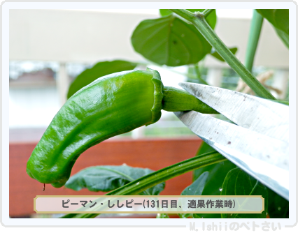 ペトさい(ししピー)29
