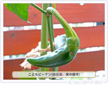 ペトさい(こどもピーマン)44