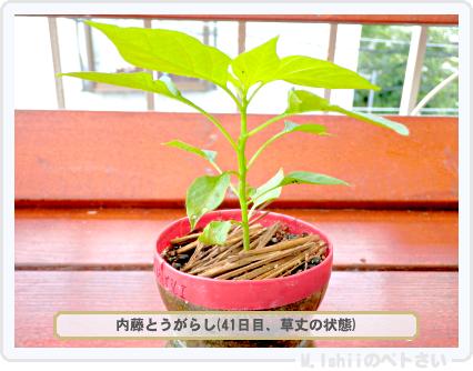 ペトさい(内藤とうがらし)26