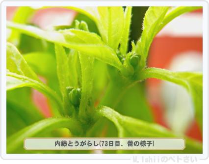 ペトさい(内藤とうがらし)43