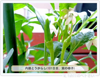 ペトさい(内藤とうがらし)59