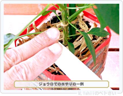 ペトさい(内藤とうがらし)60